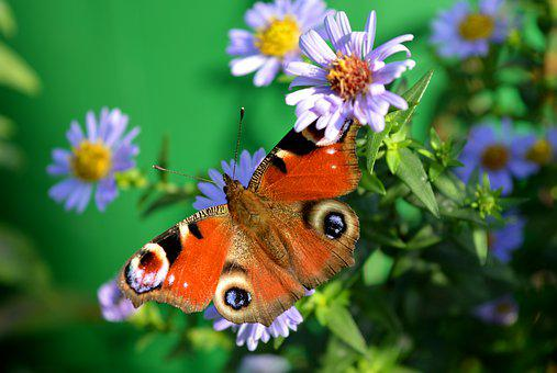 Butterfly, Peacock Butterfly, Nature, Insect, Flowers