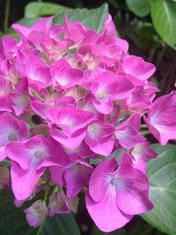 Hydrangea, Garden, Perennials, Pink, Blossom, Bloom