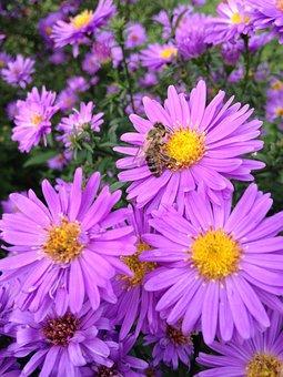 Aster, Herbstaster, Garden, Perennials, Pink, Rose