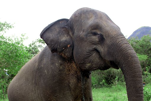 Elephant, Animals, Nature, Safari, Lahat, Indonesian
