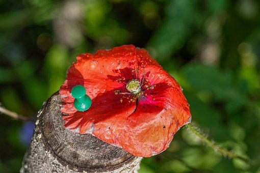 Poppy, Blossom, Bloom, Flower, Meadow, Flora
