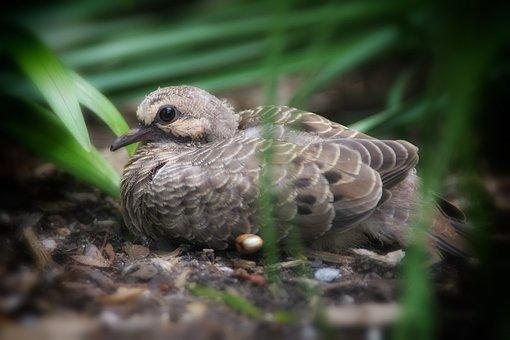 Animal, Nature, Bird, Dove, Wildlife