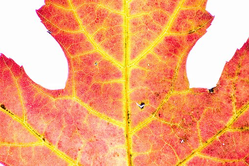 Autumn, Red, Nature, Color, Yellow, Orange, Maple