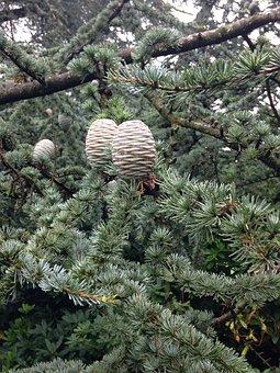 Fir Tree, Tap, Cedar, Garden, Park, Plant, Flora