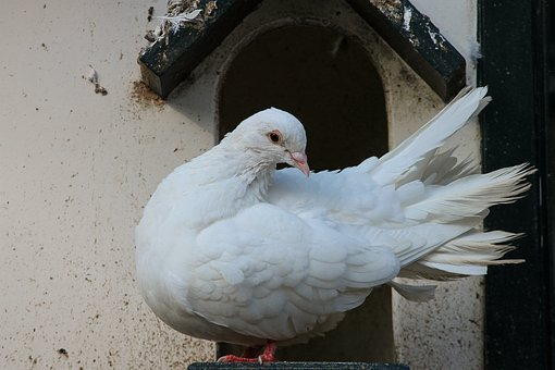 Dove, White, Bird, Columbiformes, Peace Dove, Dovecote