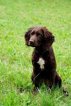 German Quail Dog, Hunting Dog, Stoeberhund, Dog, Pet