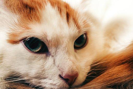 Red-headed Cat, Portrait, Cat, Eyes, View, Mustache