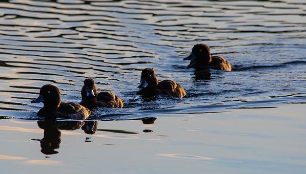 Greater Scaup, Scaup, Golden Eye Duck, Yellow Eyed Duck