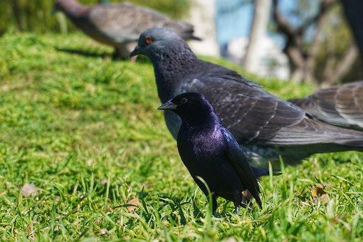 Dove, Pigeon, Bird, Shiny Cowbird, Small Bird