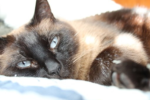 Sleepy, Cat, Siamese, Animal, Pet, Cute, Domesticated