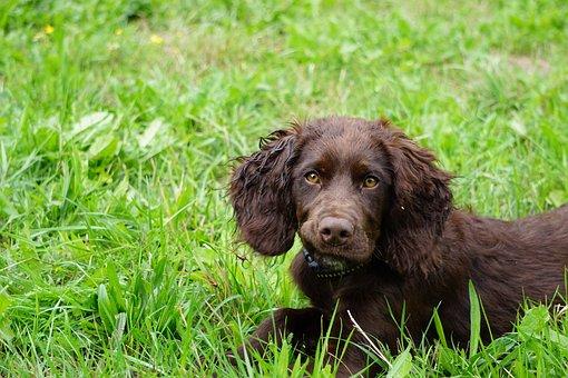 German Quail Dog, Dog, Stoeberhund, Hunting Dog, Animal