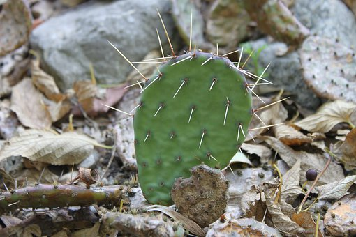 Cactus, Green, Spikes, Barbed, Succulents