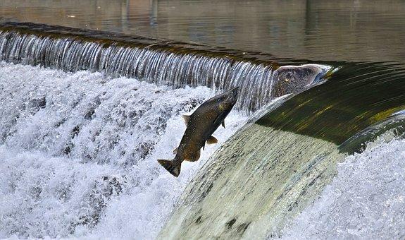 Salmon, Jumping, Upstream