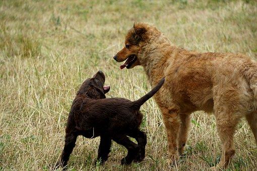 Quail Dog, West Woods Kuhhund, Dogs, Pet, Animal
