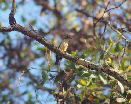 Yellow-ramped Flycatcher Female, Wild, Life, Wildlife