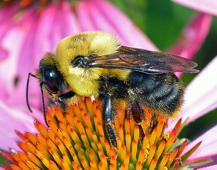 Bumble Bee, Bee, Bumblebee, Insect, Nature, Flower