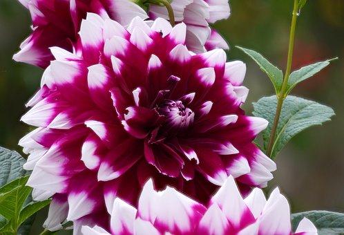 Dahlia, Blossom, Bloom, Flower, Nature, Flora