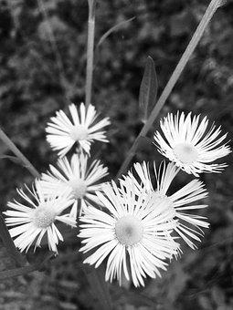 Chamomile, Flowers, Plant, Blossom, Bloom, Flora