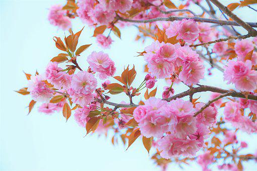 Flowers, Tree, Cherry, Nature, Spring, Pink, Branch