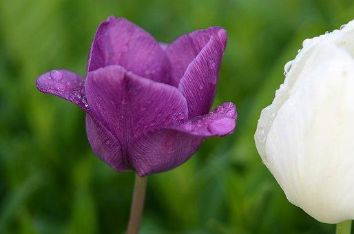 Tulip, Natur, Flowers, Garden, Bloom, Floral, Plant