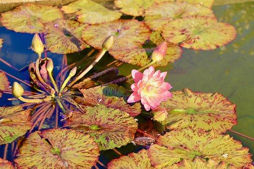 Lotus, Flower, Flowers, Pond, Nature, Japan