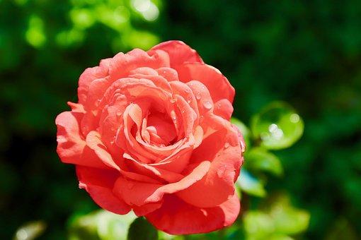 Rosa, Orange, Flower, Spring, Romantica, Rose, Bloom
