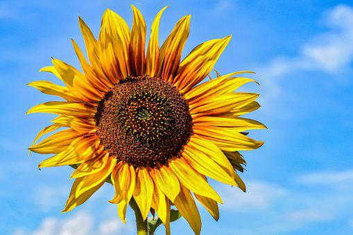 Sunflower, Summer, Yellow, Flower, Blossom, Bloom