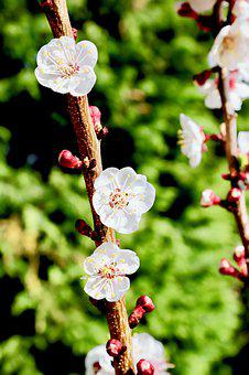 Spring, Apricot-tree, Nature, Flowers, Apricot, Tree