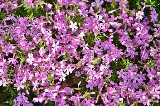 Flower, Spring, Nature, Bloom, Garden, Pink, Blossom