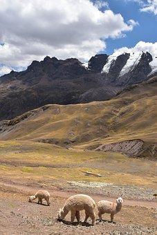 Peru, South America, Alpaca, Mountains, Panorama, Andes