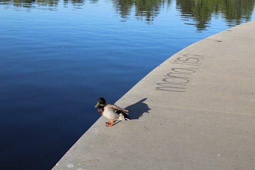 Duck, Mona Lisa, Shore, Lake, Water, Nature, Thinking