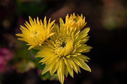 Flower, Yellow, In Bloom, Close-up, Autumn, Nature