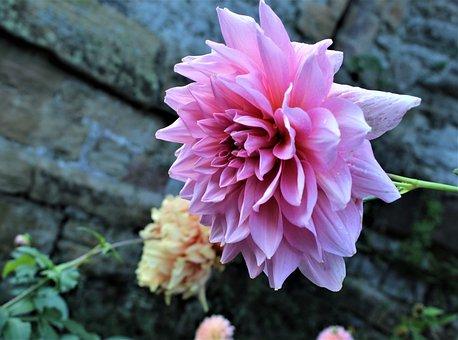 Dahlia, Flower, Bloom, Blossom, Pink, Garden, Floral