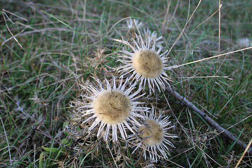 Silver Thistle, Thistle, Plant, Prickly, Blossom, Bloom