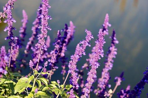 Purple, Flowers, Flower, Bloom, Garden, Summer, Green