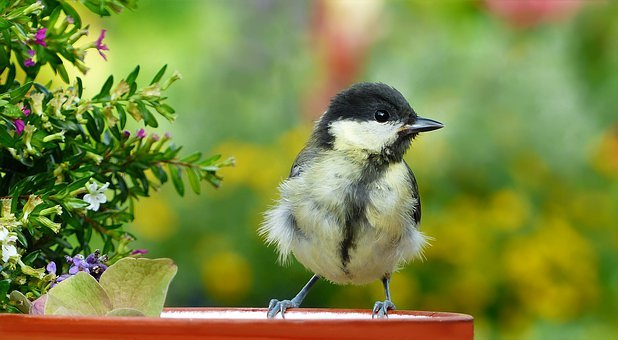 Animal, Bird, Songbird, Tit, Young, Parus Major