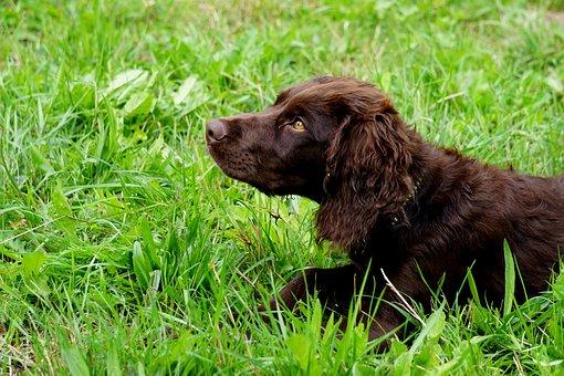 German Quail Dog, Hunting Dog, Stoeberhund, Animal, Dog