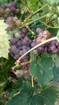 Grape, Vine, Mature, Wine