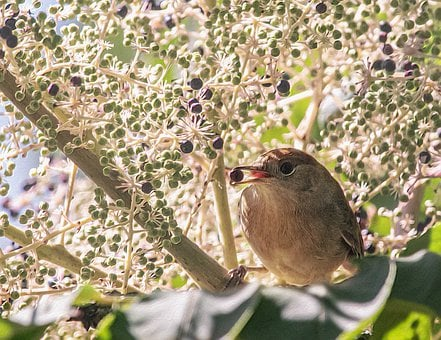 Bird, Berry, Tree, Aralia, Autumn, Sitting, Branch
