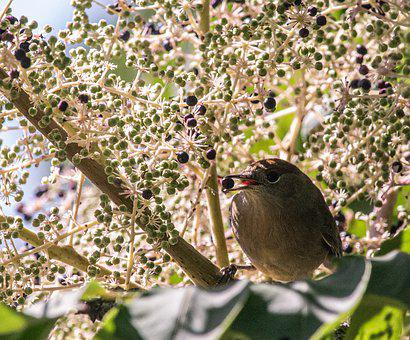 Bird, Berry, Tree, Aralia, Autumn, Sitting, Branch