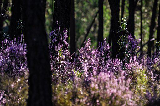 Forest, Heather, Purple, Atmosphere, Nature, Plant
