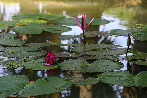 Lotus, Flowers, Nature, Pink, Pond, Peace, Blossom
