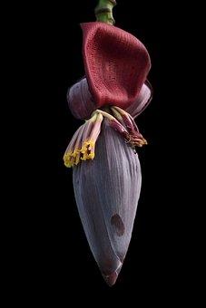 Banana Blossom, Banana, Blooming, Flower, Macro, Flora
