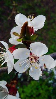 Blossom, Flowers, Nature, Plant, Spring, Botany