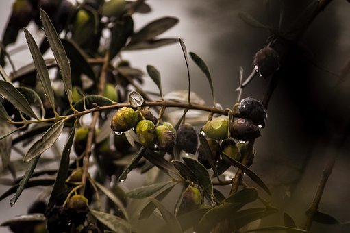 Olives, Rain, Rain Drops, Plant, Green, Italy, Nature