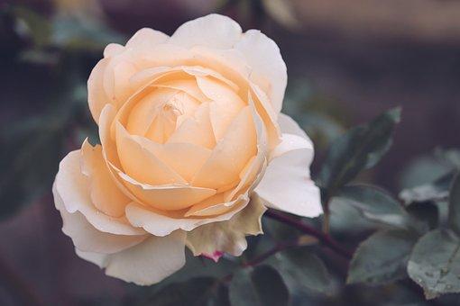 Rose, Salmon, White, Tender, Rose Bloom, Orange Rose