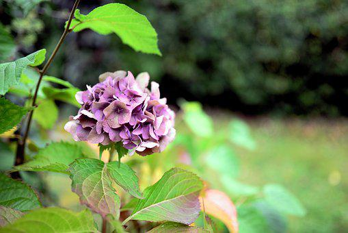 Hydrangea, Garden, Nature, Flora, Plant, Bloom, Flowers