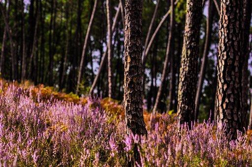 Heather, Sunlight, Purple, Trees, Forest, Bark, Scenery