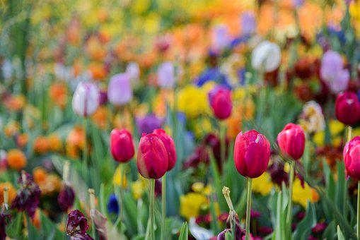 Tulip, Colour, Flowers, Spring, Garden, Nature, Red