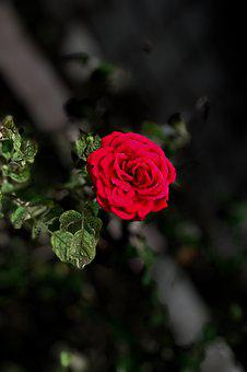 Rose, Red, Flower, Plant, Love, Romantic, Blooming